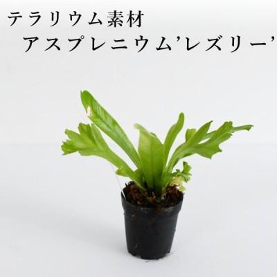 クロコダイルファーン(シダ植物) 苔テラリウム作製用素材