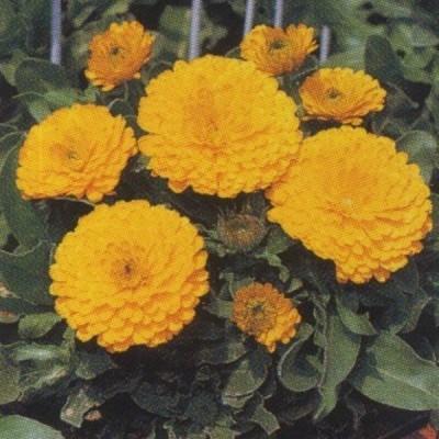 花の種(営利用)金盞花 矮性種 ゴールデン ゼム 20ml タキイ種苗(メール便発送)