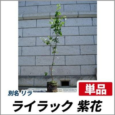 ライラック 紫花 樹高1.8〜2.0m前後(根鉢含まず) 単品