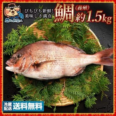 鮮魚 直送 真鯛 タイ 養殖 (生) 1尾  約1.5kg 冷蔵 香川・愛媛県産  [送料無料 鮮魚 たい タイ 白身 魚 刺身 結納・お祝いにも欠かせない お食い初め  ] グルメ