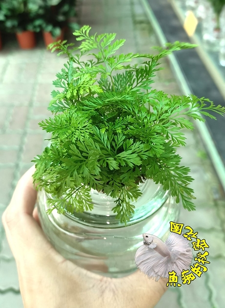 [水耕兔腳蕨盆栽 ] 專利玻璃瓶 水耕植物盆栽 可放室內 需光線充足的環境~半日照更好