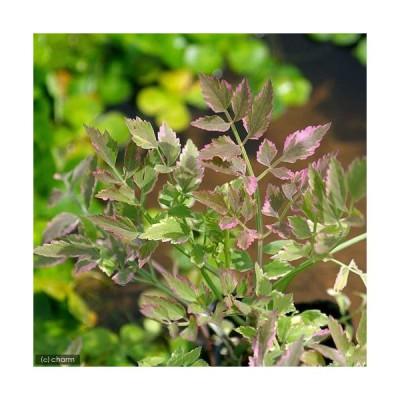 (ビオトープ)水辺植物 アケボノセリ(1ポット) 湿生植物 休眠株