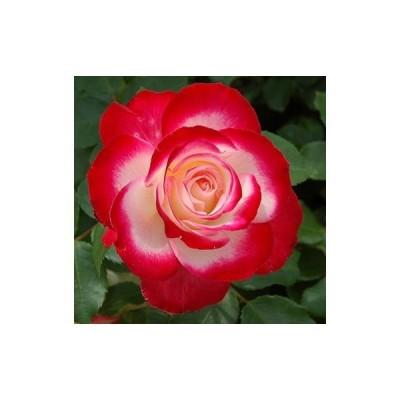 予約販売 バラ新苗 ジュビレ デュ プリンス ドゥ モナコ 四季咲き 中輪  薔薇 バラ バラ苗 tros 4月上旬以降発送