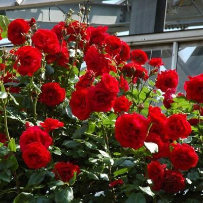 バラの苗/バラの新苗予約:第二弾 つるバラ:ウルメールムンスター新苗