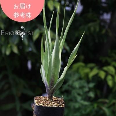 レデボウリア マルギナータ Ledebouria margina 観葉植物 球根 販売 豹柄 クサキカズラ科