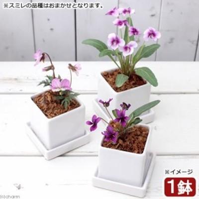 (山野草)おまかせスミレ 陶器鉢植え ニューダイスS WH(1鉢) 受け皿付き