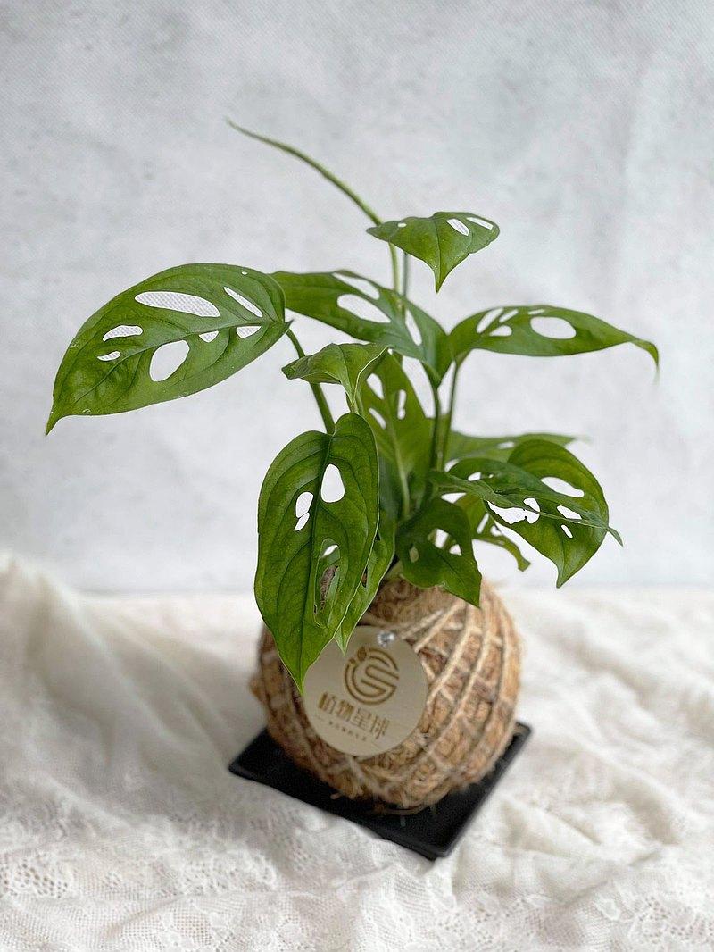 觀葉植物*PD46/窗孔龜背芋/小苔球/婚禮小物/開幕送禮/居家綠化