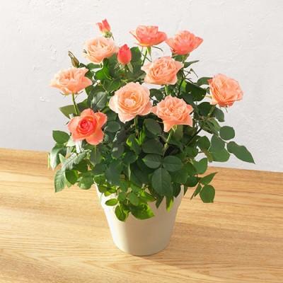 母の日 大西 隆コレクション ミニバラ「コモ」 ラン・鉢物・観葉植物
