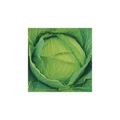キャベツの種 早生大御所 小袋 約1.5ml ( 野菜の種 )
