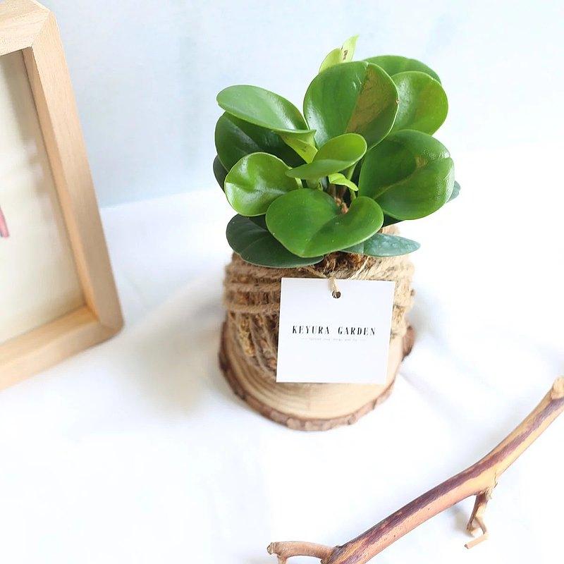 觀葉植物PD07/圓葉椒草/小苔球/送禮小物/開幕送禮/居家綠化文青