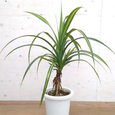 観葉植物/タコノキ(黄斑入り) 8号鉢植え A-1