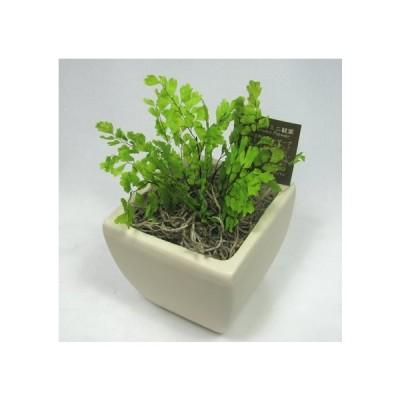 プリザーブドフラワーの観葉植物 プリグリーンアジアンタム