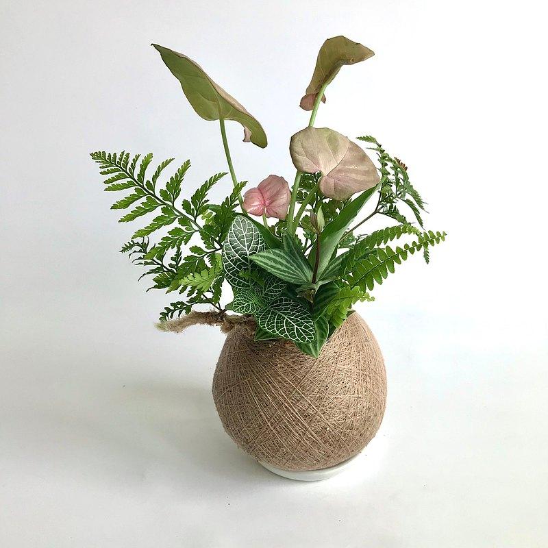 粉紅佳人合果芋 六品組合植栽苔球