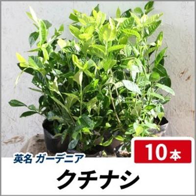 クチナシ 樹高30~40cm前後 10本セット 常緑 苗木 庭木 花木 芳香