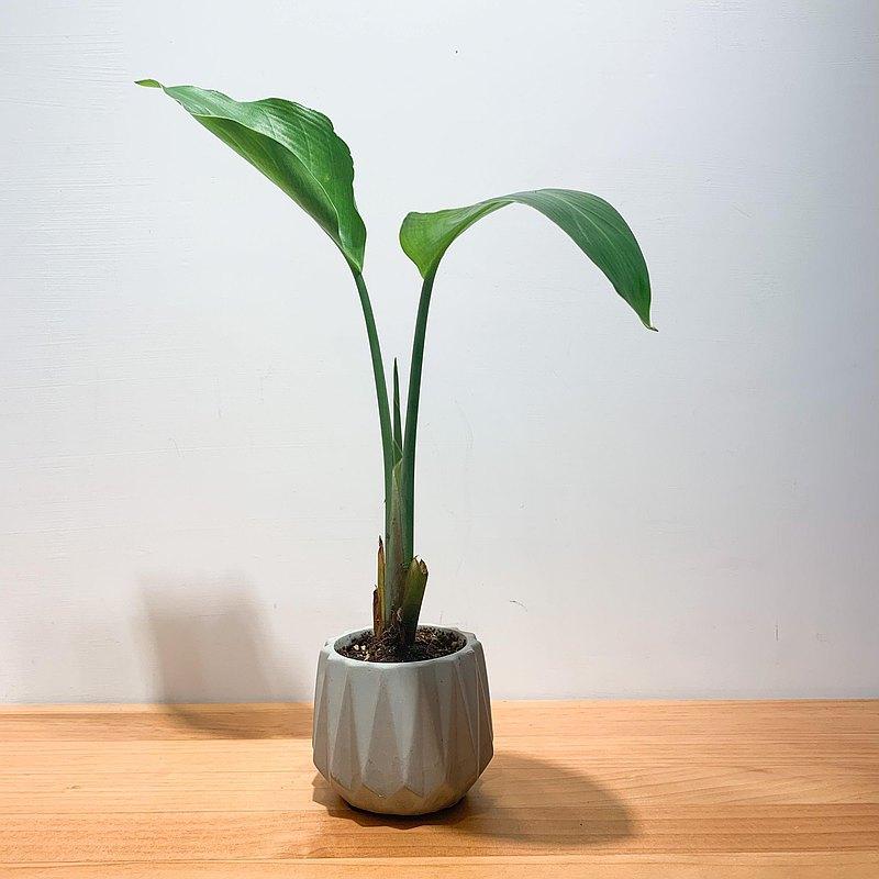 【pinkoi嚴選】天堂鳥 水泥盆栽  盆栽 淨化空氣 畢業禮物 開幕送