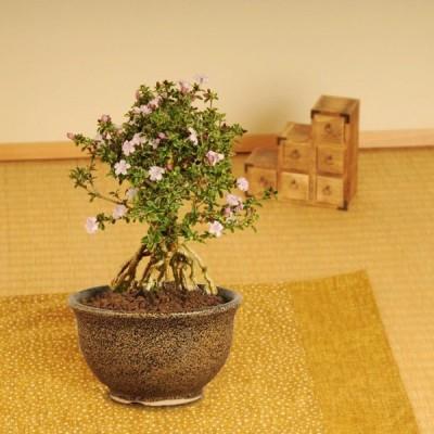 遅れてごめんね 敬老の日ギフトにも小品盆栽:香丁木(萬古焼鉢)* 花  鉢植え 鉢花 プレゼント  bonsai