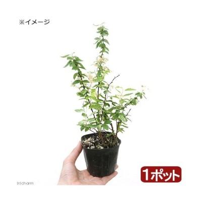 (山野草)斑入りコデマリ(斑入小手毬) ピンクアイス 3号(1ポット)