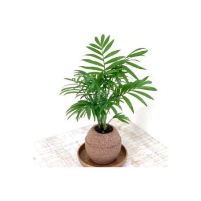 アクアプラントポット玉-S鉢植えテーブルヤシ