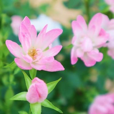 バラ苗 大苗 Rose for You ローズワルツ 7号専用角鉢入 ピンク系 ぼかし肥料1kg付き