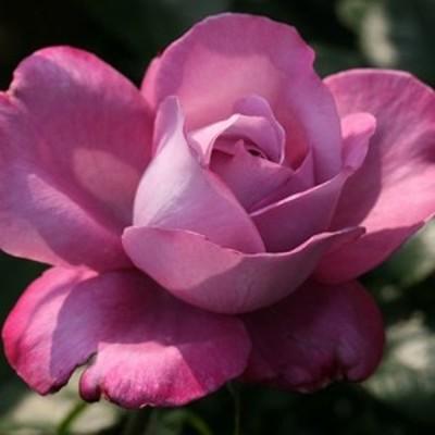 【12/29-1/6出荷停止】バラ苗 2年大株 4号 ファーストグレートウエスタン Hybrid tea Roses H1291 送料無料 贈答 大感謝祭 お歳暮