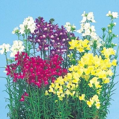 種 花たね リナリア混合 1袋(100mg)
