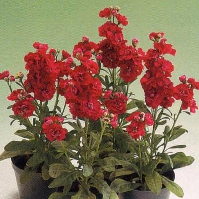花の種(営利用)ストック 矮性種 キスミー ローズ 10ml タキイ種苗(メール便発送)
