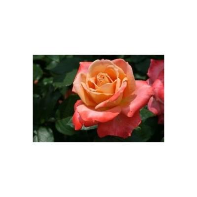 【12/29-1/6出荷停止】バラ苗 2年大株 4号 フロージン'82 Hybrid tea Roses H1277 送料無料 贈答 大感謝祭 お歳暮
