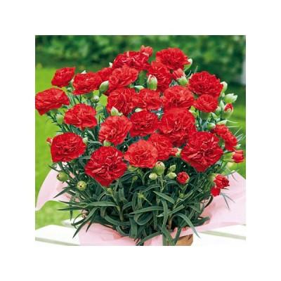 母の日 2021 早割 ギフト ランキング プレゼント カーネーション 花鉢 鉢植え カンタービレ 5号 母の日期間お届け