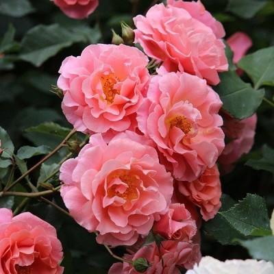バラ苗 新苗 ワーナーズローゼス サンセットグロウ オレンジ系