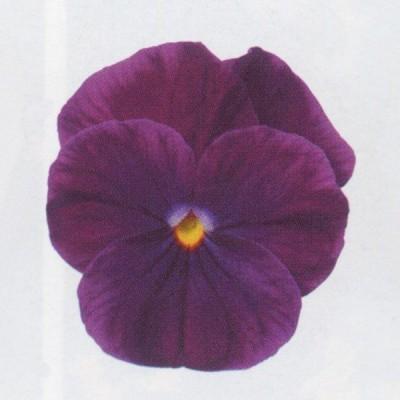 花の種(営利用)ビオラ ソルベXP パープル 500粒 サカタのタネ 種苗(メール便発送)