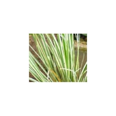 フイリセキショウ / 10.5cmポット 【 単 品 】 / 販売 苗 植木 苗木 庭木 グランドカバー 下草 寄せ植え 低木