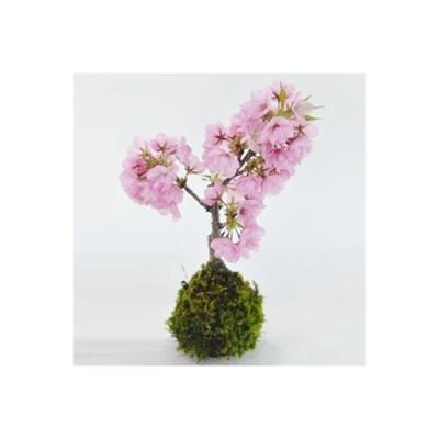 桜の苔玉 盆栽 ミニ盆栽 bonsai ボンサイ ぼんさい 小品 誕生日 引越し祝昇進退職贈り物プレゼント