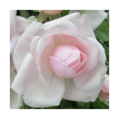 【12/29-1/6出荷停止】バラ苗 2年大株 4号 ニュードーン Climbing Roses C0413 クライミング ローズ 送料無料 贈答 大感謝祭 お歳暮