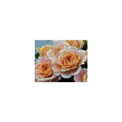 18・バラ苗・切り花品種接ぎ木 SPチアガールアプリコット2〜3号(購入前に下記の重大なコツなどを読んでください)