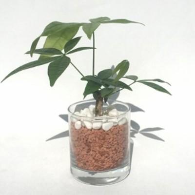 【ハイドルカルチャー 観葉植物】サークル80 セラミス パキラ