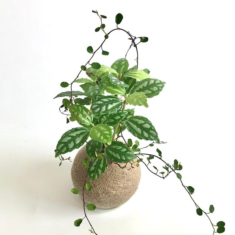 冷水花 雙品組合植栽苔球