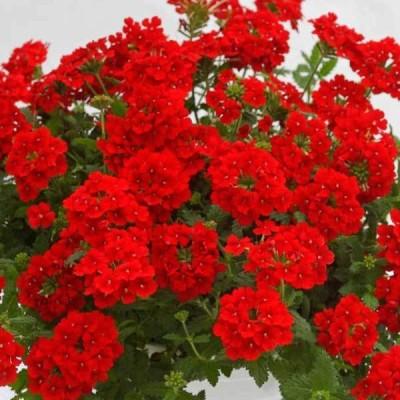 草花の苗/バーベナ:エストレラ ブードゥーレッド11cmポット