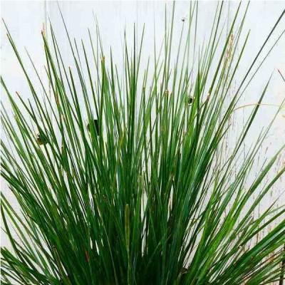 ロマンドラ クラッカージャック 6号 オーストラリア植物 常緑 ガーデニング 0916