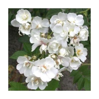 バラ苗 新苗 ポールファーナン つる 4号鉢 予約販売 -4月中旬以降 順次出荷予定-