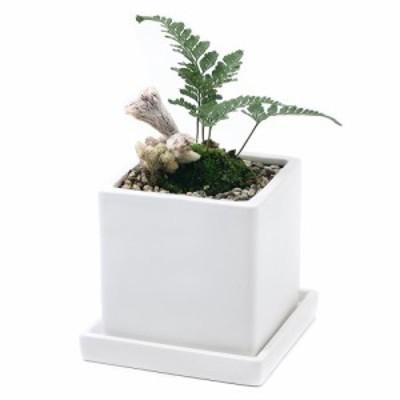 (観葉植物)トキワシノブ 陶器鉢植え ダイスM WH(1鉢) 受け皿付き
