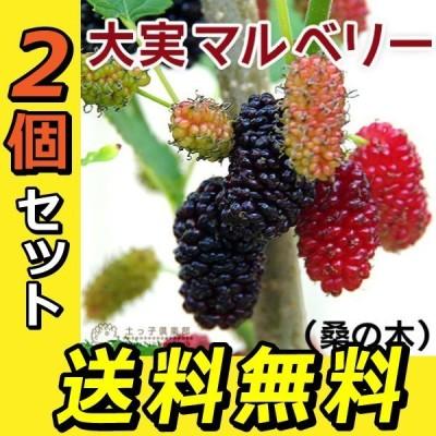 大実マルベリー (桑の木) 2個セット ( 送料無料 ) 15cmポット苗木