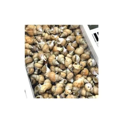 シロバイ貝 日本海産 中サイズ(1個約30g)計500g白バイ500g-30g豊洲直送 冷蔵