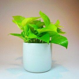 淨化空氣~黃金葛室內精緻小盆栽(白盆)