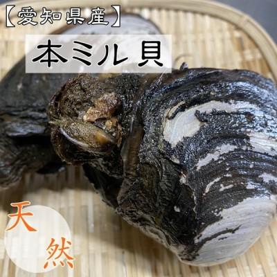 無くなり次第終了!【送料無料】天然活き本みる貝 1kg (3個前後) 【愛知県三河湾産】