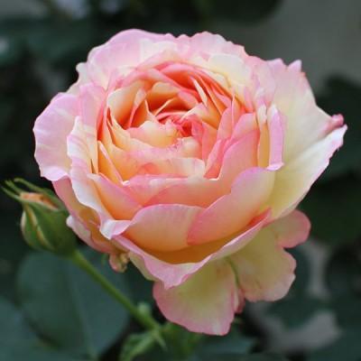 バラの苗/バラの新苗予約:第二弾 デルバールローズ:ペッシュ・ボンボン新苗4号鉢植え