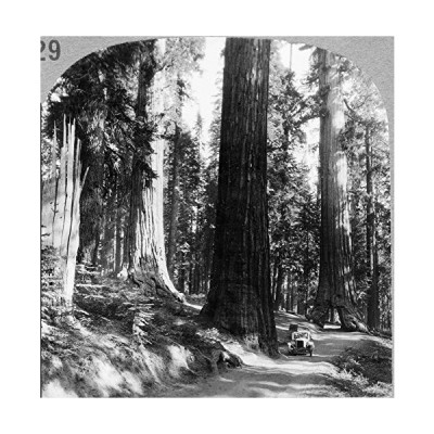 Yosemite Sequoia Grove Ngiant Sequoia Trees And The Wawona Tree Tunnel In T