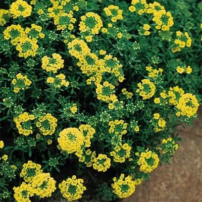 種 花たね アリッサム マウンテンゴールド 1袋(25粒)