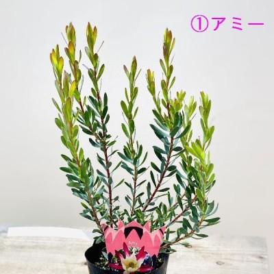 鉢花 観葉植物:リューカデンドロン*各種選べます 4.5号 リュウカデンドロン