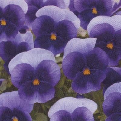 花の種(営利用)ビオラ F1ビビ系 F1ビビ ビーコン 1000粒 タキイ種苗(メール便発送)