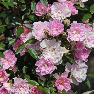 バラの苗/21年12月上中旬予約 つるバラ:宇部小町(うべこまち)大苗6号鉢植え